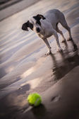 Dog waiting to play fetch on a beach — Stock Photo