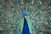 A close up of a peacock — Stock Photo