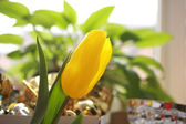 żółty tulipan — Zdjęcie stockowe