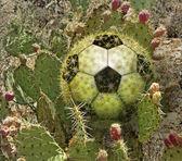 Kaktus fotbalový míč — Stock fotografie