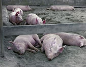 Sleeping Hogs — Stock Photo