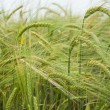 Stock Photo: Barley fields