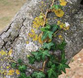 Green ivy on a tree — Stock Photo