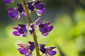 Purple lupine flower — Stock Photo
