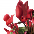 Cyclamen — Stock Photo #13187001