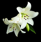 White lily on a black background — Foto Stock