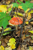 Poison amanita mushroom — Stock Photo