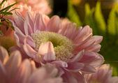 Pink сrysanthemum — Stock Photo