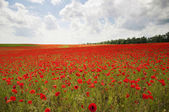 Poppies on a field — Stock Photo