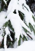 Ramas de los árboles de navidad en una tormenta de nieve — Foto de Stock