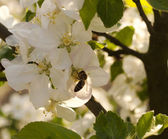 Apple blossom flower and bee — Stock Photo