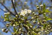Spring cherry blossom — Stock Photo