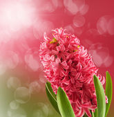 Hyacinth — Stok fotoğraf