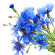 Cornflower — Stock Photo #27179569