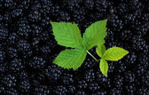 Blackberry Background — Stock Photo