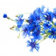 Cornflower — Stock Photo #33680035