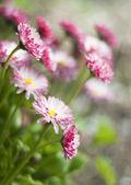 Spring daisy — Stock Photo