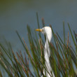 Stock Photo: Aquatic bird surrounded by grass