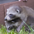 Baby raccoon — Stock Photo