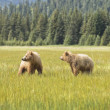 Bear pair — Foto de Stock