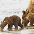 Stock Photo: Bears drinking