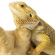 Stock Photo: Bearded dragon bearded dragon