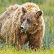 Brown bear eating grass — Stock Photo #12740355
