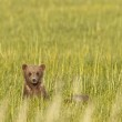 Brown bear in grass — Stock Photo