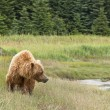 Brown bear walking — Stock Photo #12740368