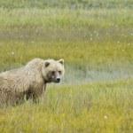 Brown bear looking at camera — Stock Photo #12740372