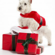Stock Photo: Christmas West Highland White Terrior