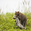 Stock Photo: Clambering bear cubs