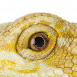 Close up shot of bearded dragon - Zdjcie stockowe