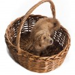 Cute puppy in basket - Stock Photo