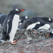 Stock Photo: Gentoo penguin standing on rocks