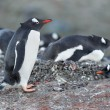 Gentoo penguin standing on the rocks — Stock Photo