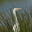 Stock Photo: Great egret