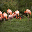 Group of pink flamingos — Foto de Stock