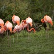 Group of pink flamingos — Stockfoto