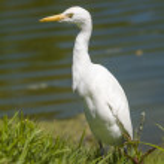 Great egret — Stock Photo
