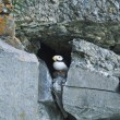 Stock Photo: Hiding puffin