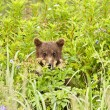 Hiding cub — Stock Photo #12742461