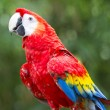 Hybrid macaw — Stock Photo