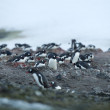 Stock Photo: Large group of gentoo penguins