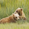 Stock Photo: Pair of cubs