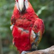 Stock Photo: Red macaw on bough