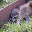 Racoon buddies — Stock Photo #12742841