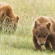 Small bear cubs — Stock Photo