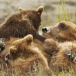 Stock Photo: Three bear cubs
