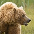 Wet brown bear — Stock Photo
